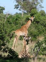 Giraffe - Linyanti Concession (Chobe Region)