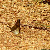 Marpesia chiron marius (CRAMER, 1779). Pitangui (MG, Brésil), 20 décembre 2012. Photo : Nicodemos Rosa
