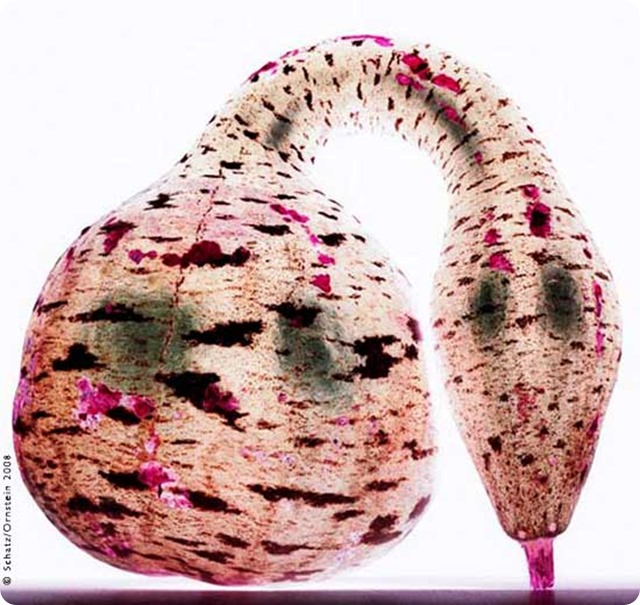 Howard-Schatz-Gooseneck swan gourd