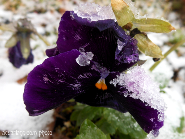 Purple Flower in Snow Photo By Aquariann