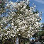 2009_04_13_Spring_Blossoms
