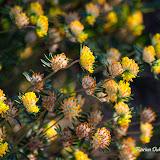 Язвенник приморский (Anthyllis maritima)