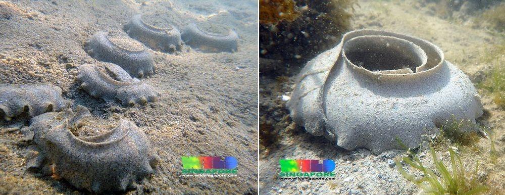 sand-collar-moon-snail-7