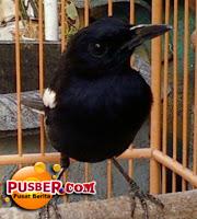 Jenis Burung Kacer Poci atau Jawa