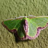 Synchlora expulsata atrapoides (Prout, 1932). Santa Fe (Veraguas, Panamá), 18 octobre 2014. Photo : J.-M. Gayman