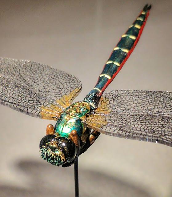 Dragonfly, Procordulia smithii