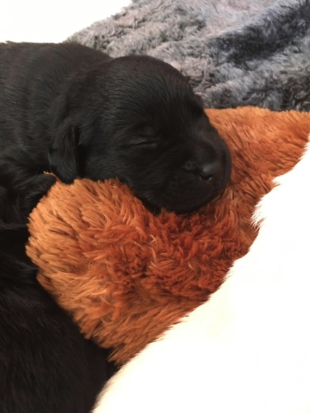 A black Labrador Retriever pup snoozing away the day