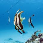 Longfin batfish (Blue Lagoon, Padangbai, Bali)