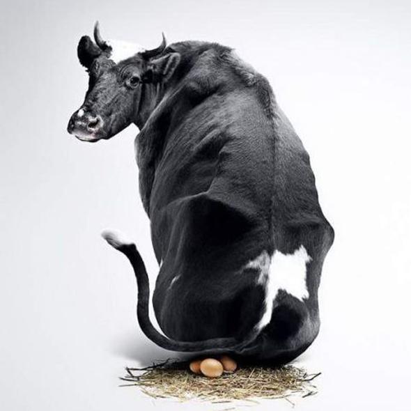 Vaca que pone huevos