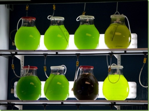 lab-grown-algae-in-jars_thumb1