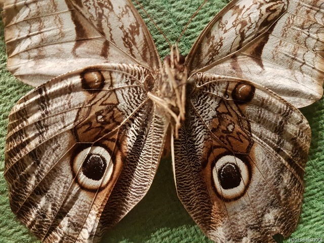 Butterfly that mimic an owl! Natural History Museum in Stockholm