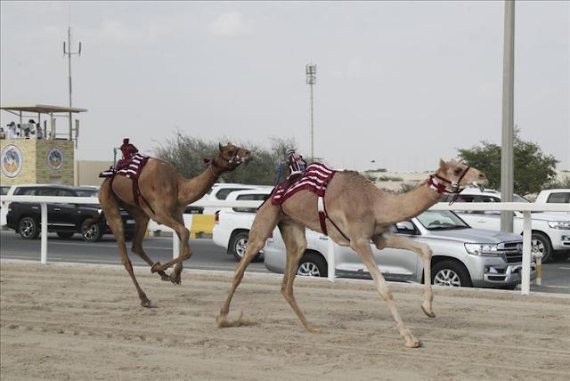 """""""الهجن"""" في قطر.. رحلة مشوقة من الترويض إلى السباق"""