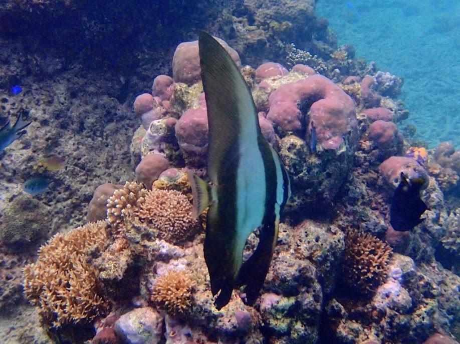 Platax teira (Longfin Batfish), Entatula Island Beach Club reef, Palawan, Philippines.