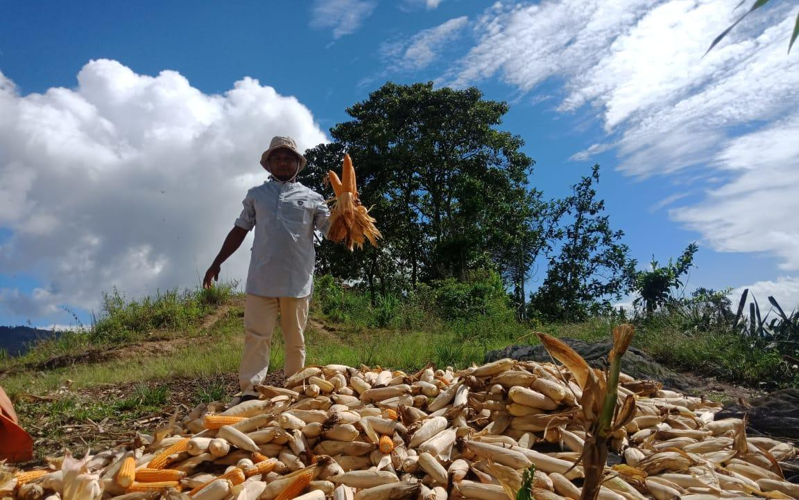 Petani di Kab.Enrekang Panen Jagung Didampingi Penyuluh BPP Baraka