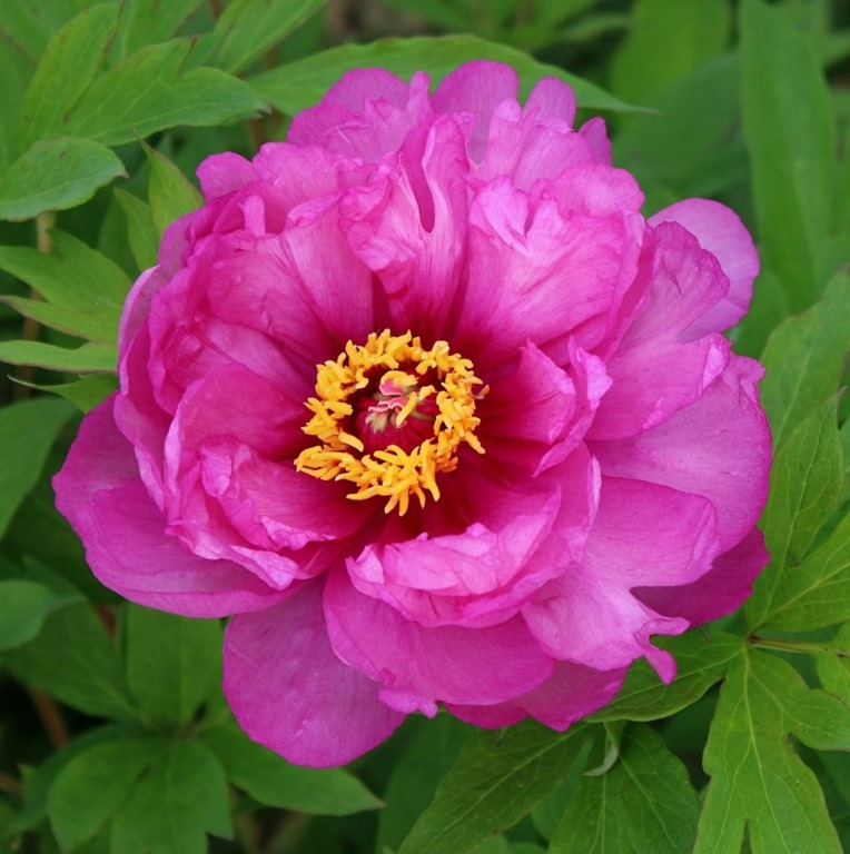 [our_peonies_from_last_may_by_mypeanutgallery-dc6vx9e%5B3%5D]