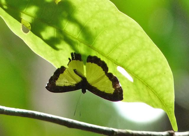 Riodinidae : Nymphidium cachrus FABRICIUS (1787). RN2 près de la Rivière Comté (Guyane), 17 octobre 2011. Photo : C. Chazal
