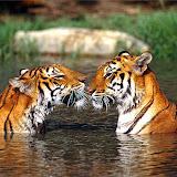 Panthera tigris tigris Indian tigers in the water, facing each other Bangkok Zoo Thailand.