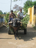 Villagers take the harvest home by bullock cart