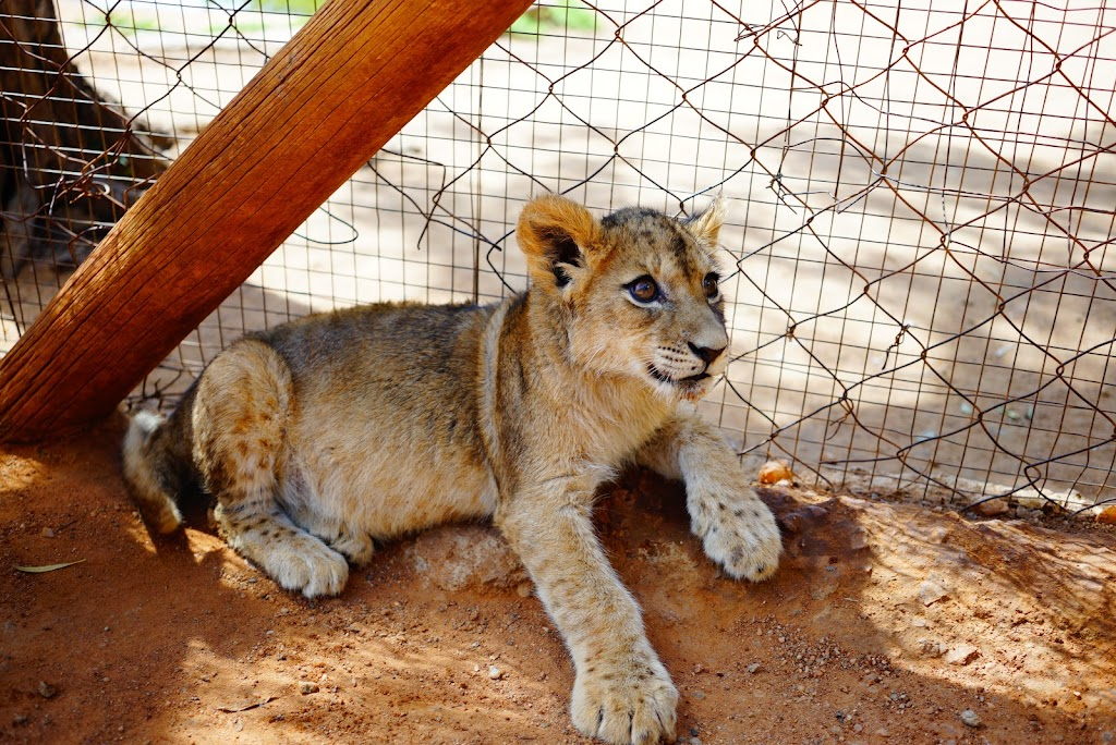 cheetah, ostrich, jiraffe and cub interaction at Lion Park, Johannesburg