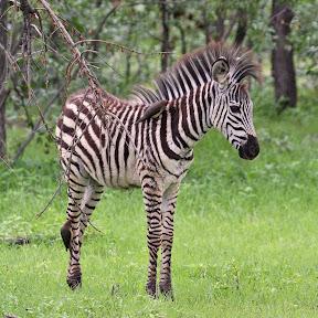 Baby Zebra, Zambia