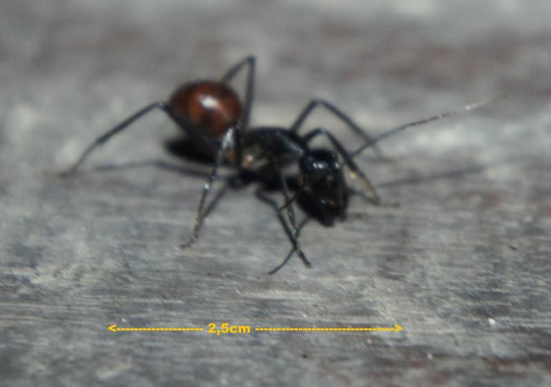 Oha, unser Mitbewohner, die größte Ameise der Welt