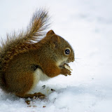 Red Squirrel in winter. Note how coat is now a bright russet. (Terry Carpenter)