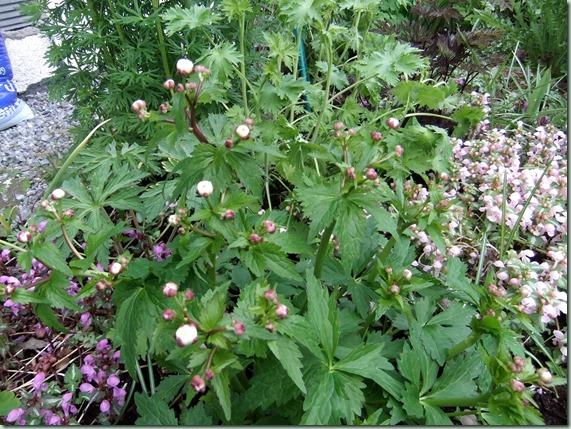 Ranunculus aconitifolia 'flore pleno