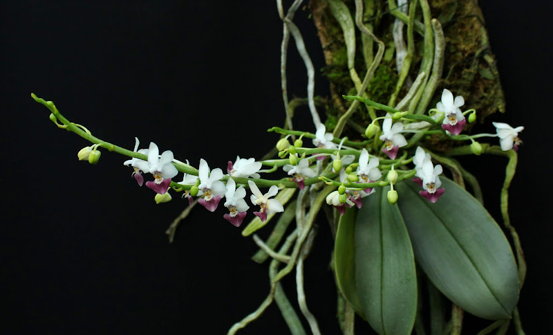 Phalaenopsis parishii IMG_1343