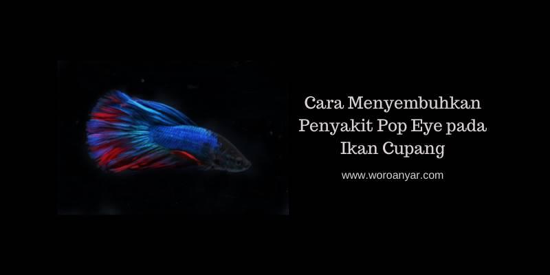 Cara Menyembuhkan Penyakit Pop Eye pada Ikan Cupang