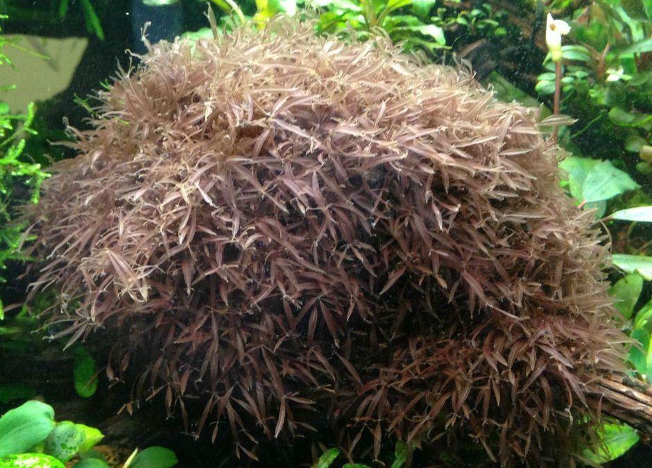 Калоглосса (Red Moss) (Caloglossa beccarii)