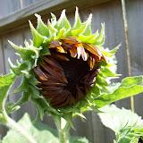 Gardening 2009 - 101_3184.JPG