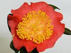 紅色 一重 まれに小白条 平開咲き 花糸白黄色 梅芯 中輪