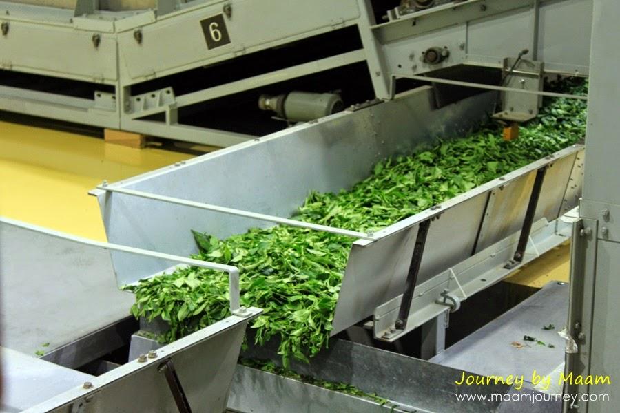 ชาเขียวญี่ปุ่นแท้_โรงงาน_2