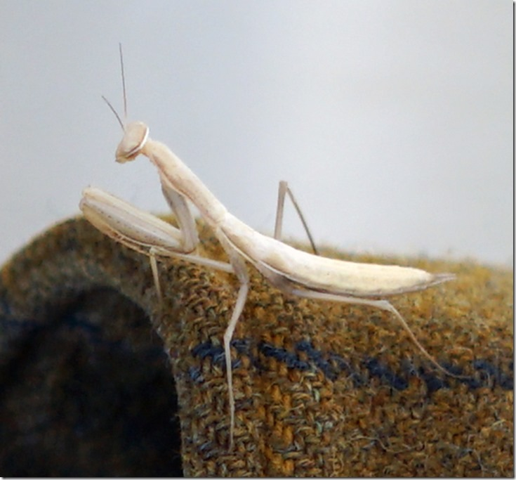 lopez preying mantis 072118 00003
