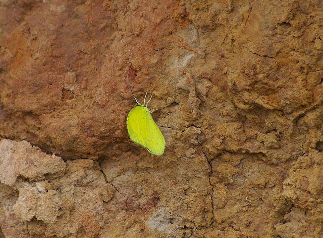 Eurema blanda BOISDUVAL, 1836. Shibao Shan (2100 m) au-dessus de Shaxi (Yunnan), 8 août 2010. Photo : J.-M. Gayman
