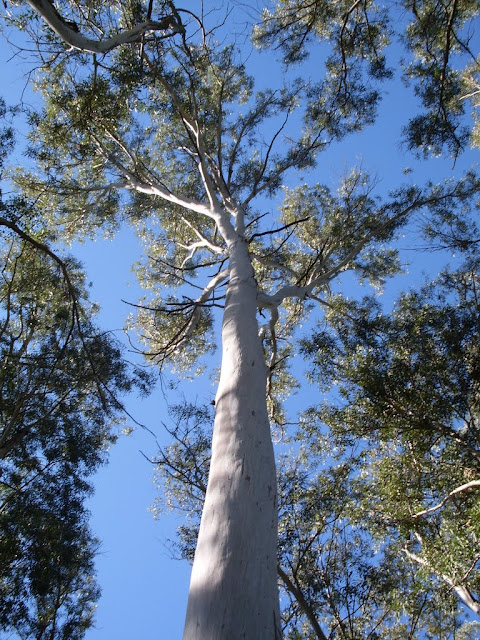 eucaliptus - 003.JPG