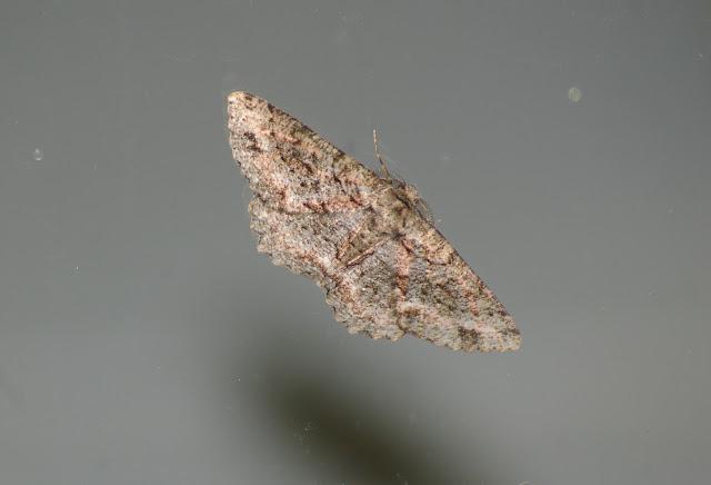 Geometridae : Ennominae : Boarmia sp. (?). Baisha (2500 m), 21 août 2010. Photo : J.-M. Gayman