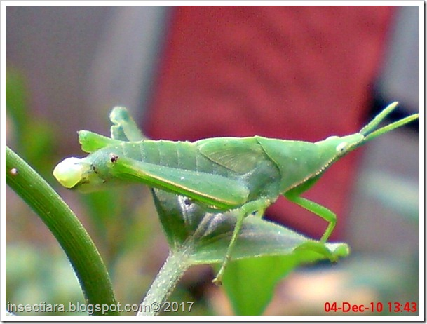 Nimfa belalang betina Atractomorpha crenulata cacat_1