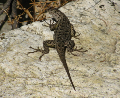 long toed lizard