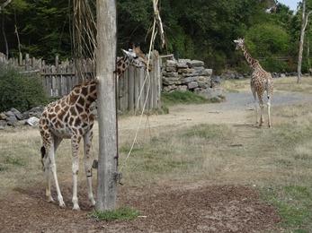 2018.08.25-039 girafes