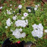 Gardening 2014 - 116_1856.JPG