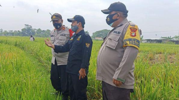 Balai Pengkajian Teknologi Pertanian Jawa Barat Pantau Hama Wereng di Cibarusah.