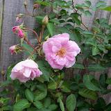 Gardening 2011 - 100_7315.JPG