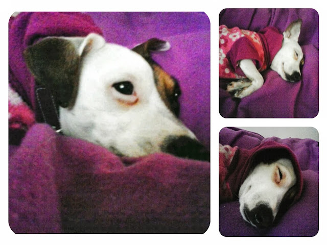 jack russell perro dog jrt
