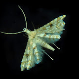 Tineodidae : Cenoloba obliteralis WALSINGHAM, 1864. Umina Beach (N. S. W.), 14 novembre 2011. Photo : Barbara Kedzierski