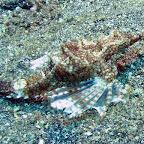 Dragon seamoth (Lembeh Strait)