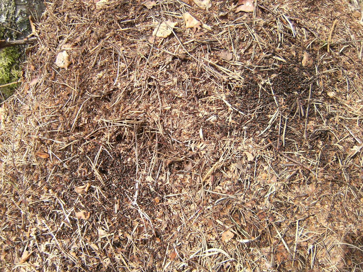 DSCF7069 Wood ants in Broadwater Warren