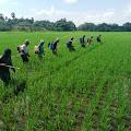Penyuluh Pertanian Kelurahan Pajalele Kecamatan Tellu Limpoe Lakukan Pengendalian Hama Ulat dan Tikus