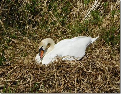 17 swan on nest