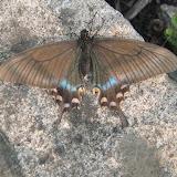 Papilio maackii MÉNÉTRIÈS, 1859. Narichnyi (à l'ouest de Partizansk, Primorskij Kraj), 22 juin 2011. Photo : G. Charet